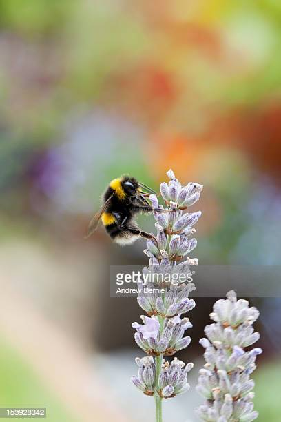 honey bee on lavender - andrew dernie stock pictures, royalty-free photos & images
