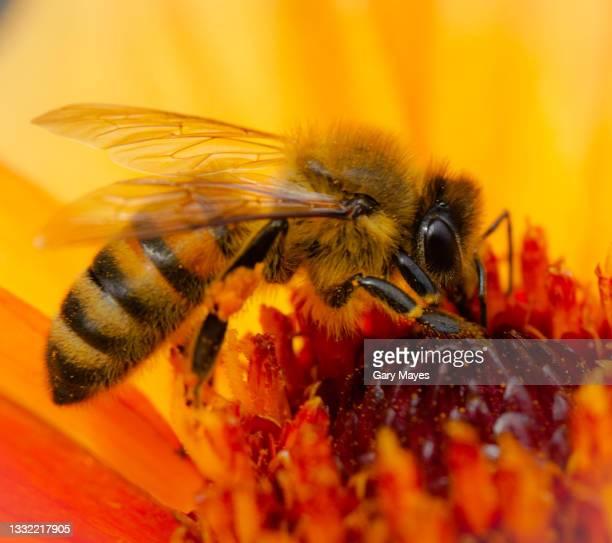 honey bee on orange flower closeup macro - 2015 stock pictures, royalty-free photos & images