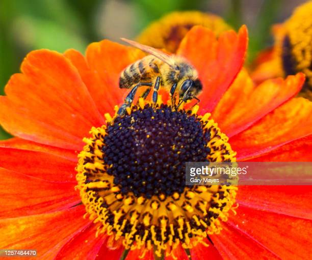 honey bee on orange flower closeup - honey bee stock pictures, royalty-free photos & images