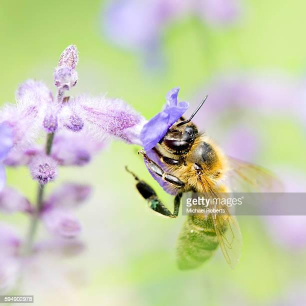 Honey bee on Russian sage, Perovskia atriplicifolia.