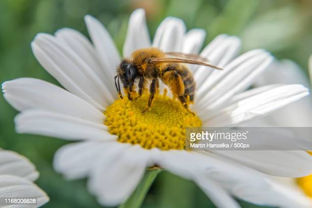 honey bee on the balcony - honey bee and flower stock pictures, royalty-free photos & images