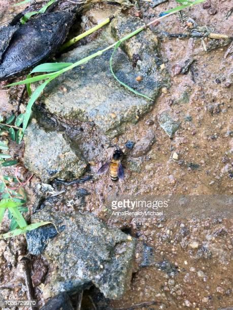 Honey bee on wet mud, India