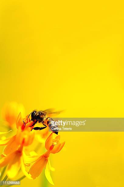 Honey bee on yellow flowers