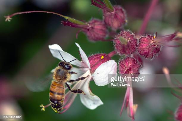 honey bee - midsommarblomster bildbanksfoton och bilder