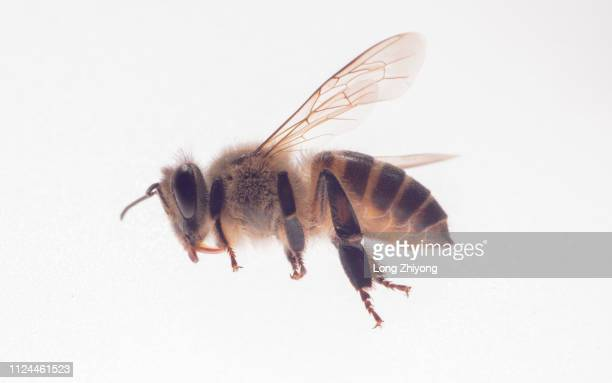 honey bee - bees stock pictures, royalty-free photos & images