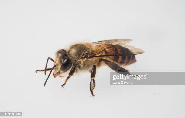 honey bee - honey bee stock pictures, royalty-free photos & images