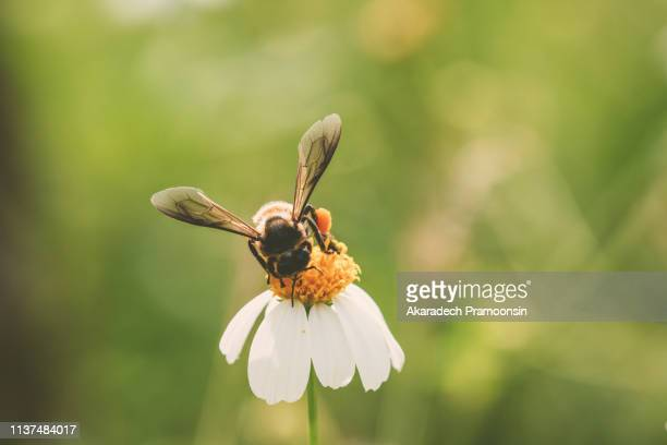 honey bee - bees on flowers stock pictures, royalty-free photos & images