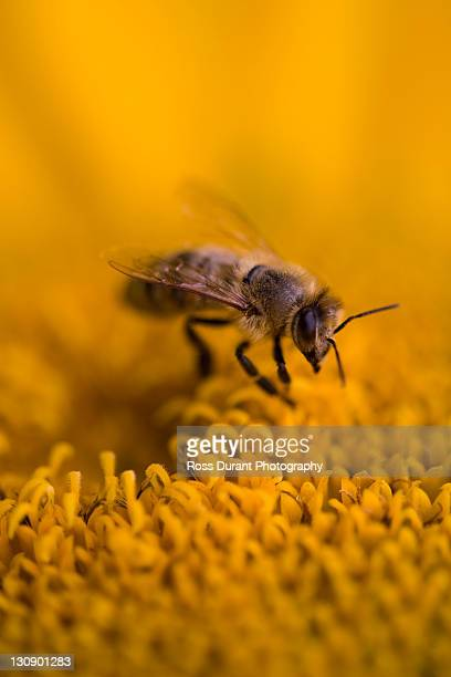 honey bee - honey ross stock pictures, royalty-free photos & images