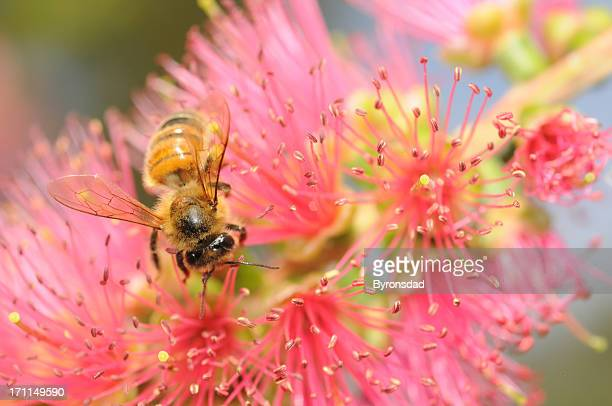 honey bee - honey bee and flower stock pictures, royalty-free photos & images