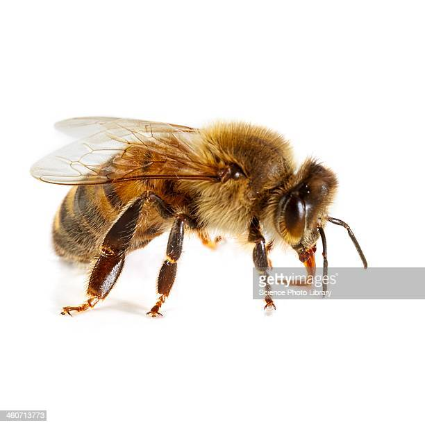 Honey bee