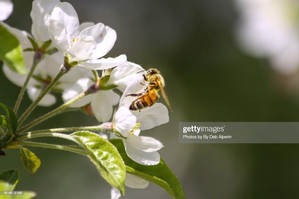 Honey Bee Pollinating Apple Blossoms : Stock Photo
