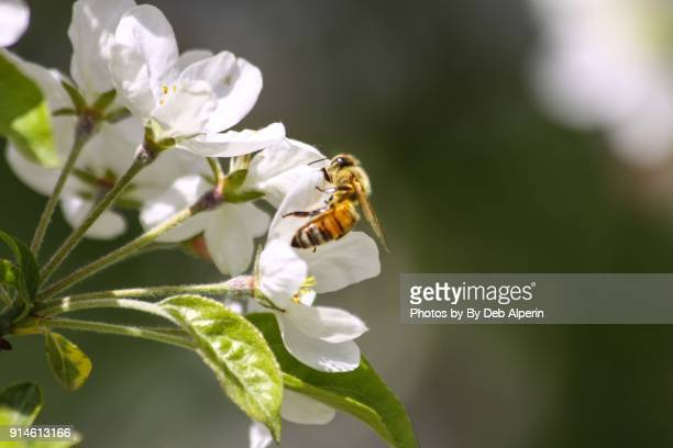 honey bee pollinating apple blossoms - apple blossom tree stock pictures, royalty-free photos & images