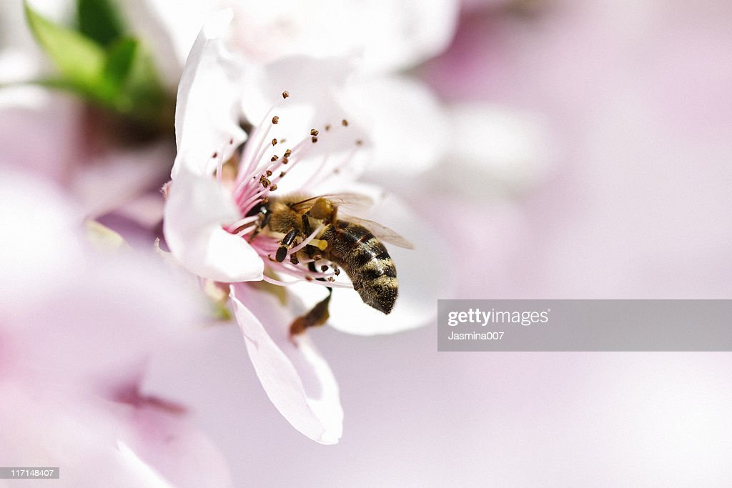 Honey Bee pollinating apple flower : Stock Photo