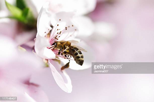 honey bee pollinating apple flower - peach flower stockfoto's en -beelden