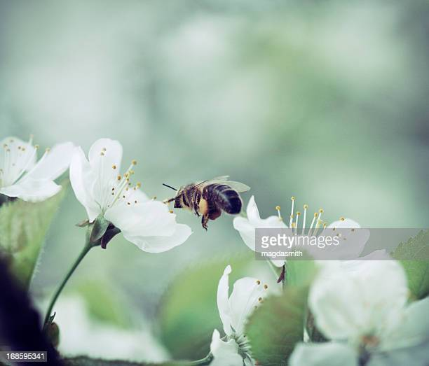 honey bee pollinating cherry blossoms