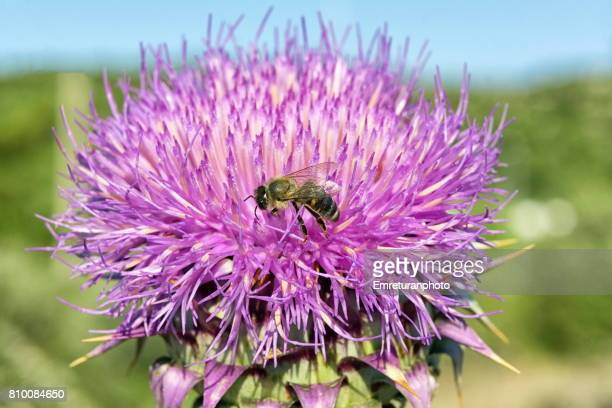 honey bee pollinating on purple thistle flower. - emreturanphoto stock pictures, royalty-free photos & images