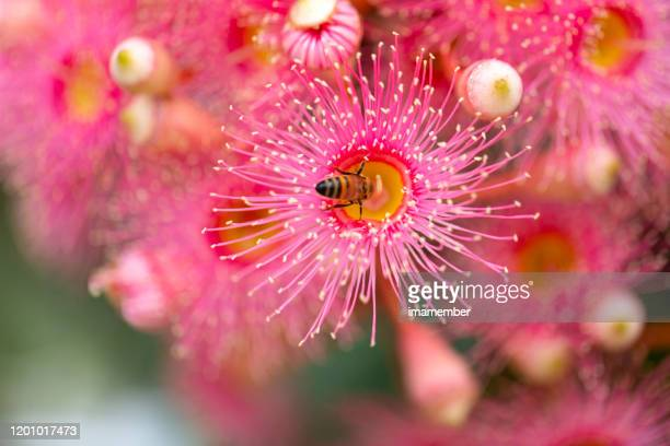 honey bee pollinating pink blossom of gum tree, beuatiful nature background with copy space - honey bee and flower stock pictures, royalty-free photos & images