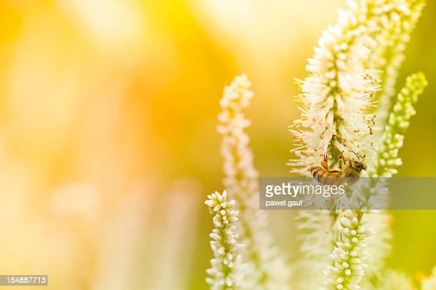 Honey Bee pollinating plant in meadow