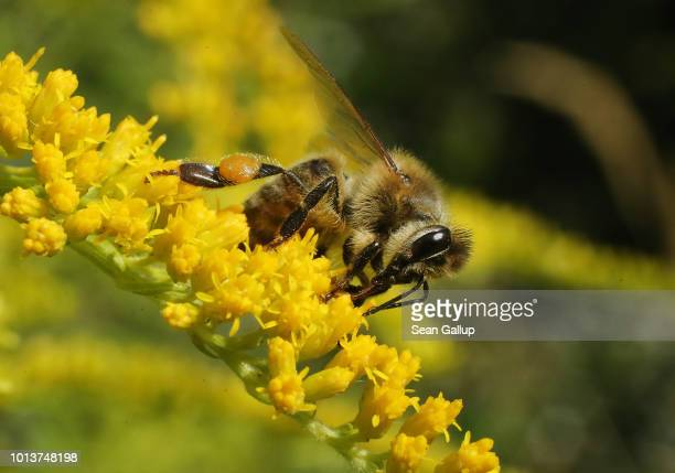 A honey bee prods flowers for nectar in an urban garden in the city center on August 9 2018 in Berlin Germany NABU Germany's biggest NGO for...