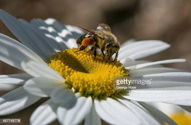 A honey bee searches for flower pollen in a Dry Creek Valley garden on September 30 near Healdsburg California Warm sunny skies in Sonoma County Wine...