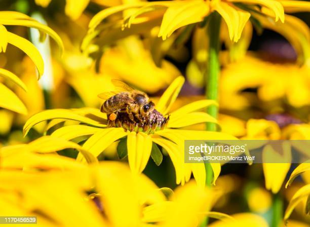 60 Top Honey Bee On Black Pictures, Photos, & Images - Getty