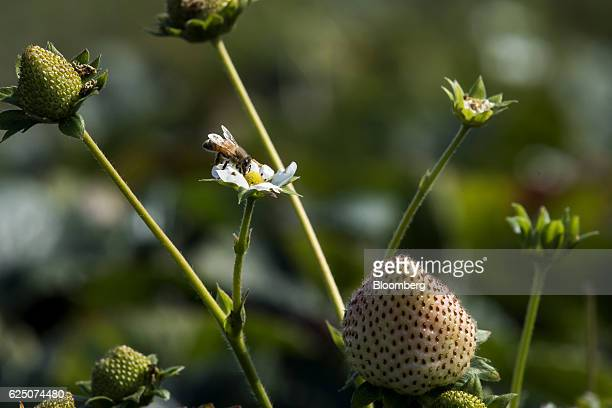 A honey bee sits perched on substrate grown strawberries at the Driscoll's Inc facility on the McGrath Ranch in Watsonville California US on Monday...