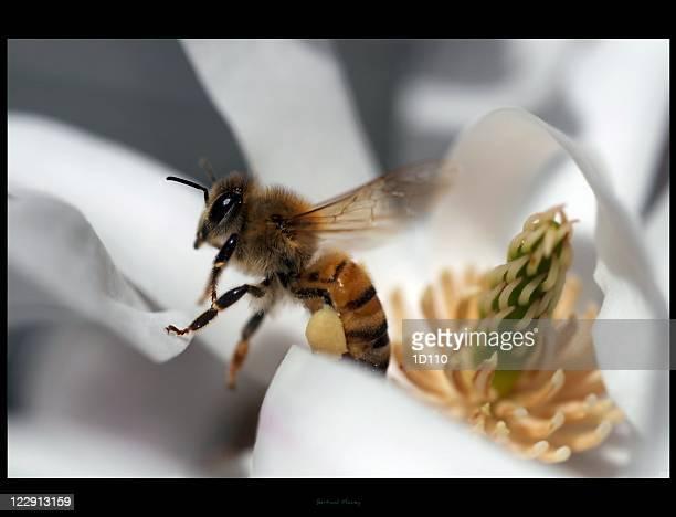 Honey bee sitting on magnolia flower