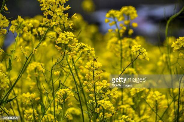 A honey bee sucks nectar out of a flower in a mustard field in Awantipora 35kms south of Srinagar Indian administered Kashmir According to the...