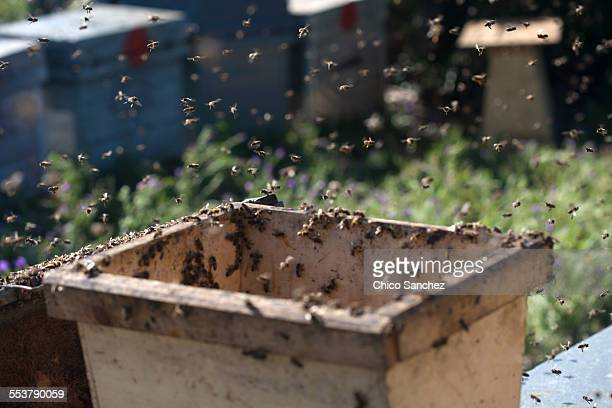 A honey bee swarm in the apiary of Puremiel beekeepers in Los Alcornocales Natural Park, Cadiz province, Andalusia, Spain