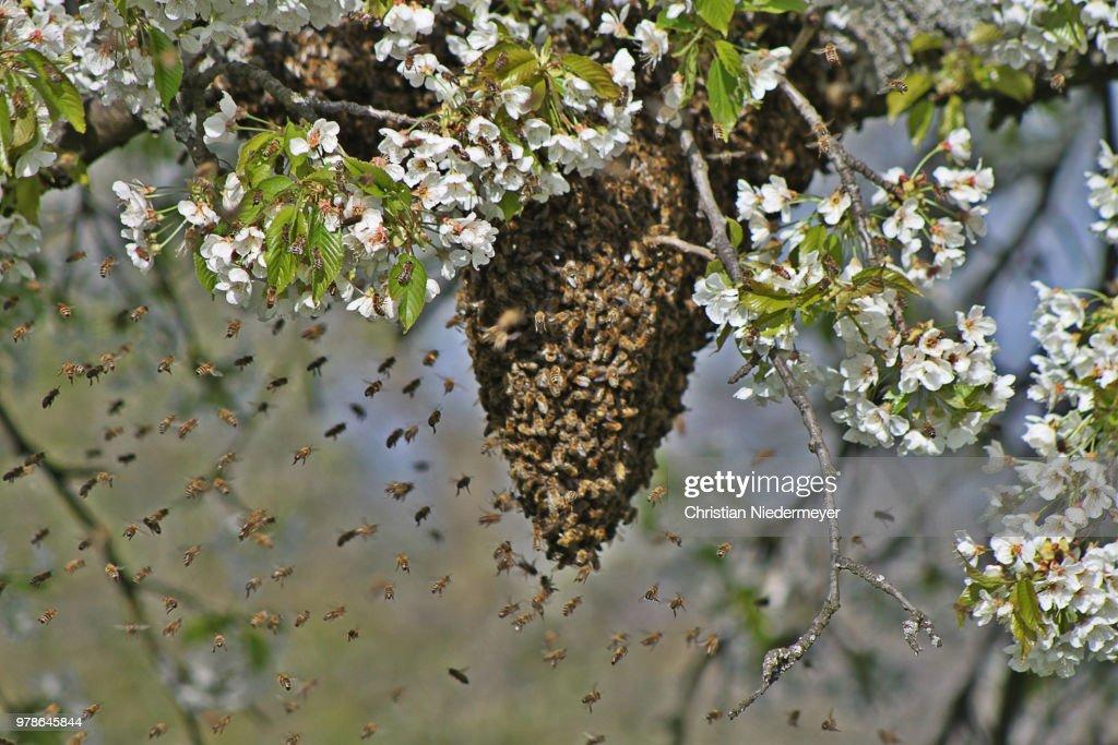 Honey bee swarm on blooming tree, Alsace : Foto de stock
