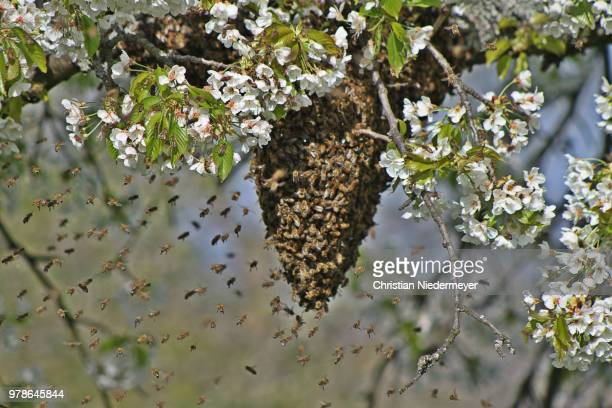 Honey bee swarm on blooming tree, Alsace