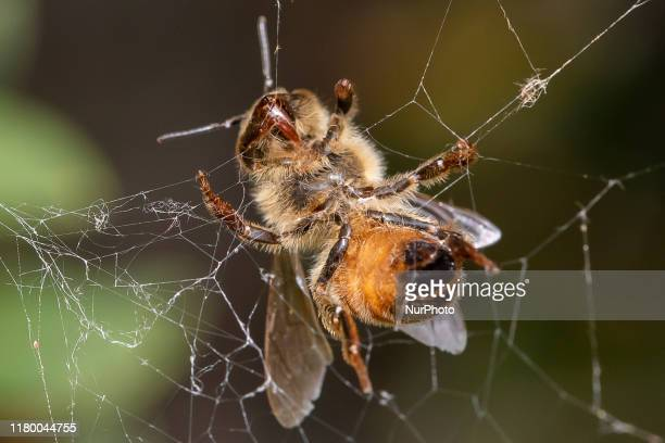 A honey bee trapped in a spider's web in a garden in Lincoln New Zealand on November 05 2019 The Earthwatch Institute concluded in the last debate of...