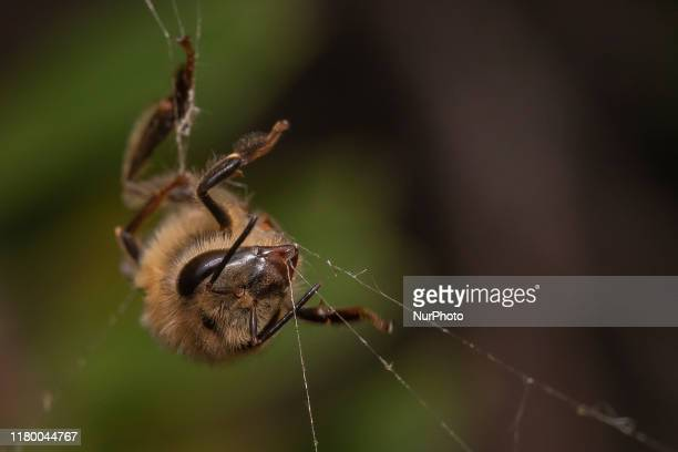 Honey bee trapped in a spider's web in a garden in Lincoln, New Zealand on November 05, 2019. The Earthwatch Institute concluded in the last debate...