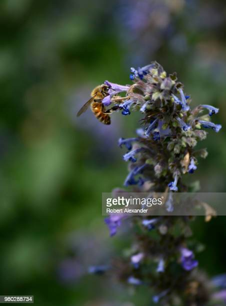 Honey bee visits a blooming catmint plant growing in Santa Fe, New Mexico.