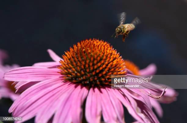 A honey bee visits a purple cornflower blossom in Santa Fe New Mexico