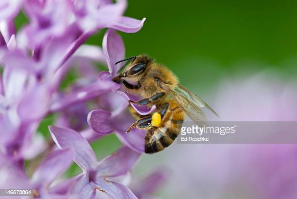 honey bee with a pollen basket necturing on lilac - honey bee stock pictures, royalty-free photos & images