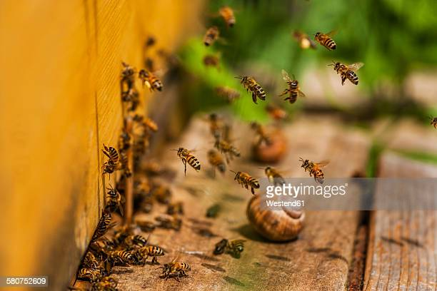Honey bees and snail shell