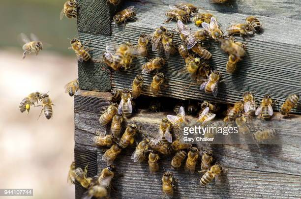 honey bees [apis mellifera] - ape foto e immagini stock
