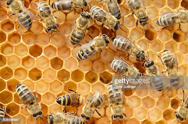 Honey bees -Apis mellifera-, worker bees caring for the brood, on brood cells, larvae, circa 8 days, in honeycomb cells