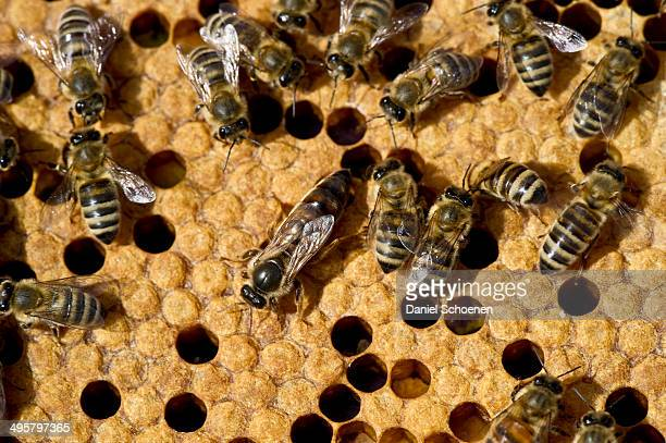 honey bees -apis sp.- on a honeycomb, queen bee at centre, germany - ape regina foto e immagini stock