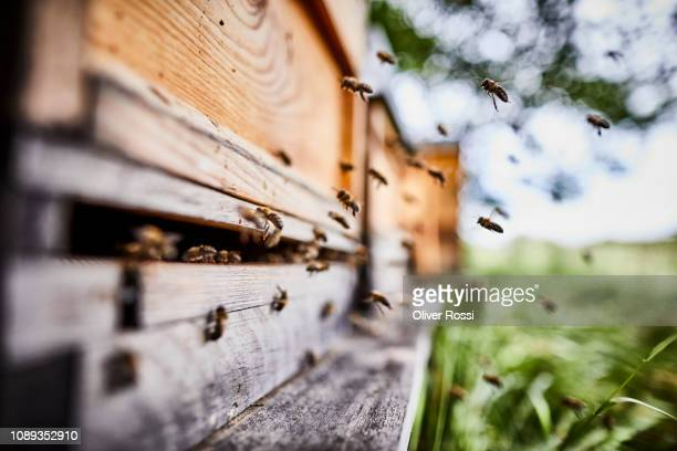 honey bees flying into wooden beehives - honey bee stock pictures, royalty-free photos & images