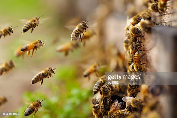 honey bees flying