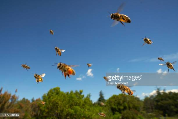 Honey bees flying to the hive with balls of pollen on the legs.