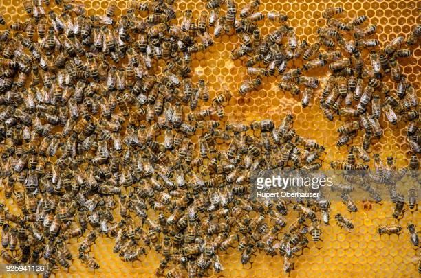 Honey bees, honeycomb, beehive, Niederrhein, North Rhine-Westphalia, Germany