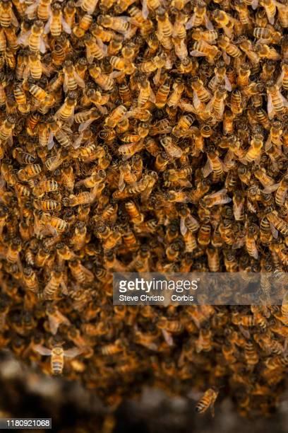 Honey Bees nest in a ladder on October 14 2019 in Sydney Australia