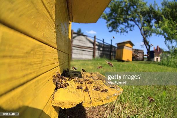 Miel bees junto a un Colmena en el apiary.