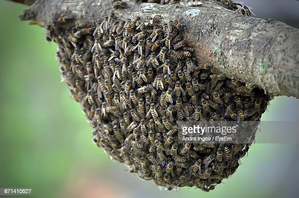 Honey Bees On Tree
