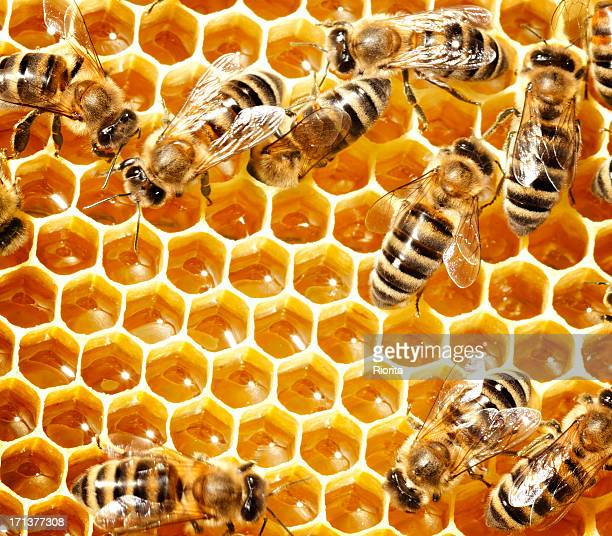 honey bees - honeycomb stock pictures, royalty-free photos & images