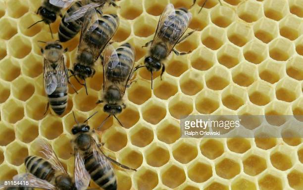 Honey bees sit on a honeycomb on May 19 2008 in Mahlberg near Freiburg Germany According to the German bee keepers association in the last few days...