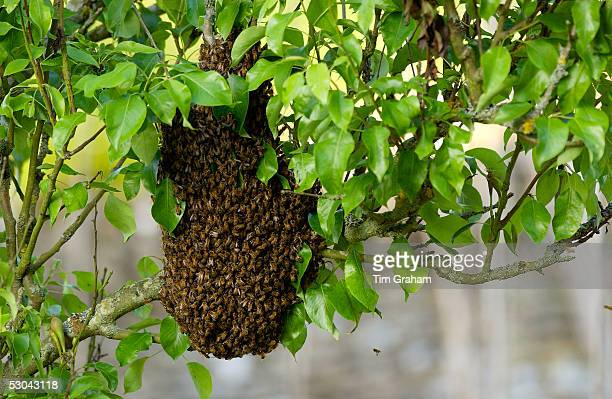 Honey bees swarming in a plum tree in the Cotswolds UK